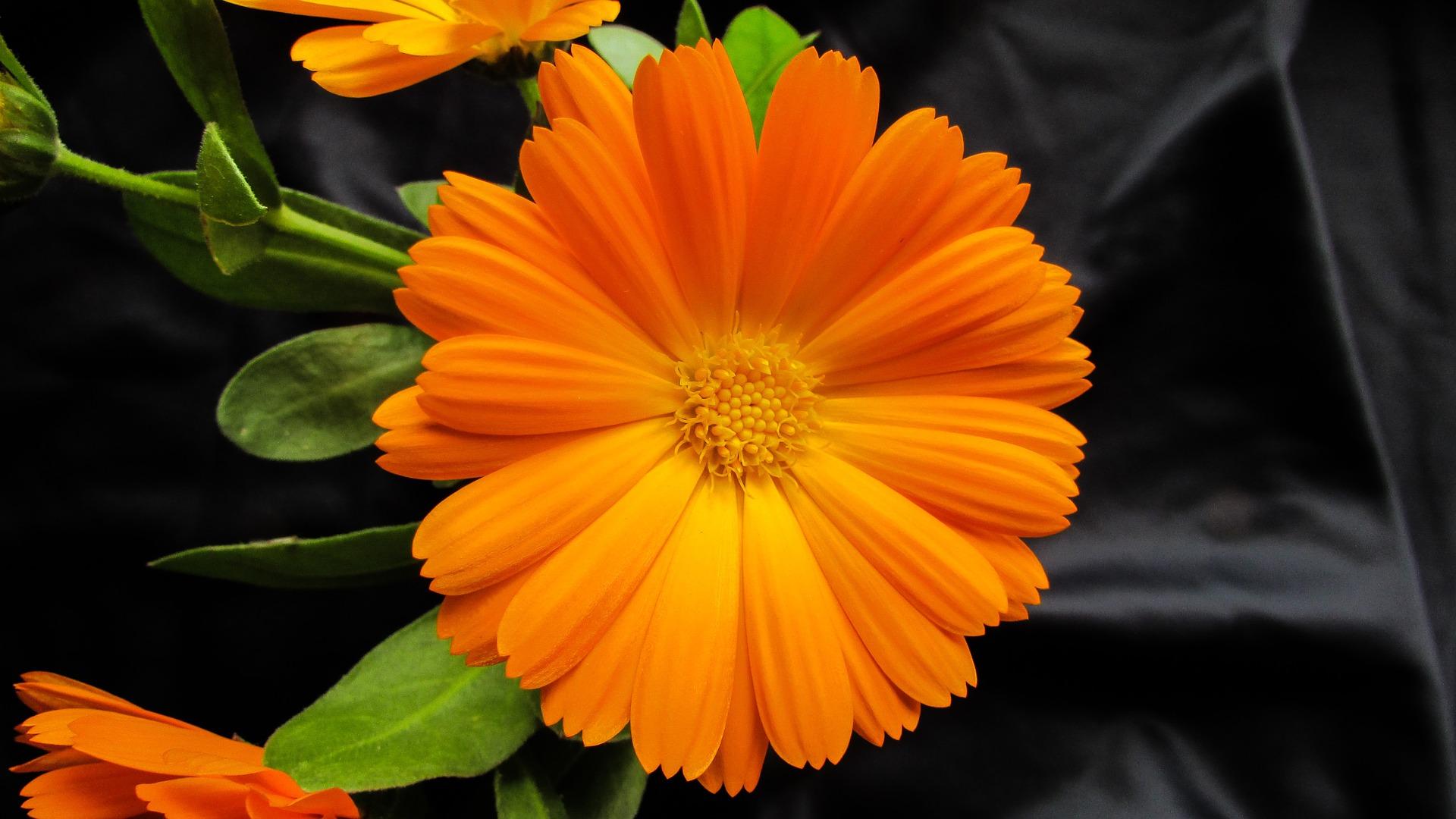marigold 1199959 1920